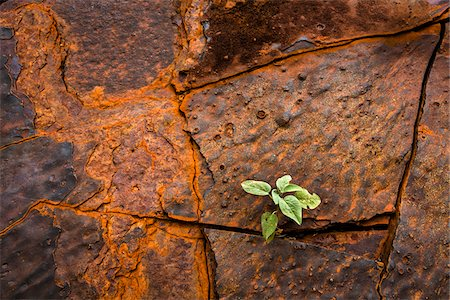 fragile - Close-Up of Plant Growing Between Cracks in Banded Iron Formation Rock, Dales Gorge, Karijini National Park, The Pilbara, Western Australia, Australia Stock Photo - Rights-Managed, Code: 700-06841628