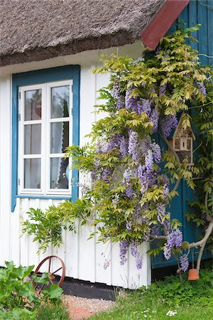 quaint house - Wisteria on a wooden house wall in Born, Fischland-Darss-Zingst, Coast of the Baltic Sea, Mecklenburg-Western Pomerania, Germany, Europe Stock Photo - Rights-Managed, Code: 700-06894897