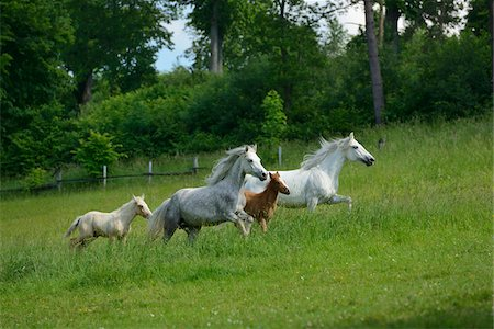 Connemara horses mares with their foals running on a big paddock, Germany Stock Photo - Rights-Managed, Code: 700-06899974