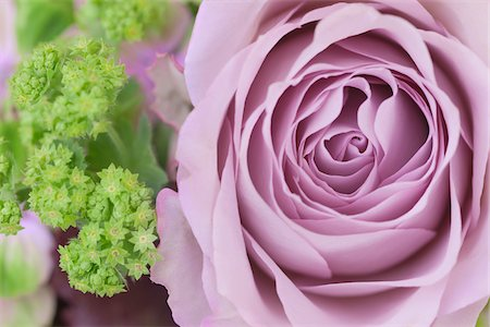 photography - Close-up of a rose in a mixed flower bouquet Stock Photo - Rights-Managed, Code: 700-06892485