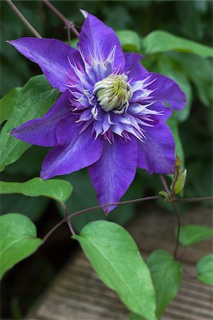 still life - Blooming Clematis Multi Blue Stock Photo - Rights-Managed, Code: 700-06892488