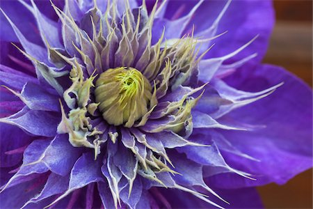 Close-up of blooming Clematis Multi Blue Stock Photo - Rights-Managed, Code: 700-06892489