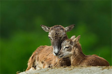 Mouflon, Ovis musimon, female with young, Hesse, Germany Stock Photo - Rights-Managed, Code: 700-06892505