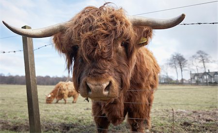 Highland cattle in field, Scotland Stock Photo - Rights-Managed, Code: 700-06892669