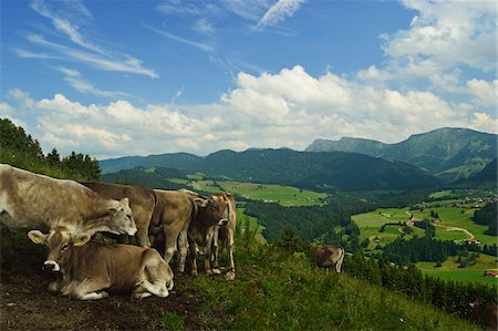Cows on Mountainside in Allgaeu Alps, View from Paradies, near Oberstaufen, Bavaria, Germany Stock Photo - Rights-Managed, Code: 700-06892802