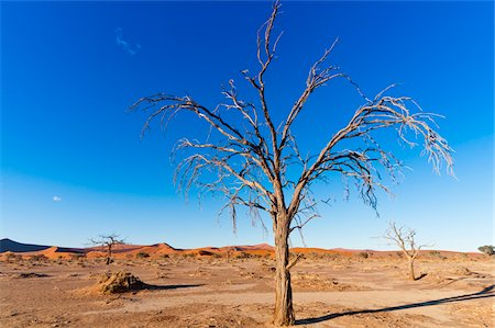 Dead Tree in Namib-Naukluft National Park, Namib Desert, Sossusvlei Region, Namibia, Africa Stock Photo - Rights-Managed, Code: 700-06962227