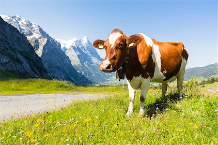 Cow in Meadow by Path in front of Mount Eiger, Bernese Alps, Bernese Oberland, Canton of Bern, Switzerland Stock Photo - Rights-Managed, Code: 700-07026615