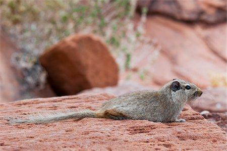 Dassie rat (Petromus typicus), Damaraland, Kunene Region, Namibia, Africa Stock Photo - Rights-Managed, Code: 700-07067364