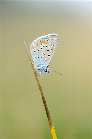 Close-up of Common Blue Butterfly (Polyommatus icarus) in Meadow, Bavaria, Germany Stock Photo - Rights-Managed, Code: 700-07067442