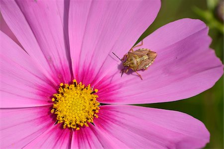 Close-up of Forest Bug (Pentatoma rufipes) on Blossom of Garden Cosmos (Cosmos bipinnatus), Bavaria, Germany Stock Photo - Rights-Managed, Code: 700-07067516