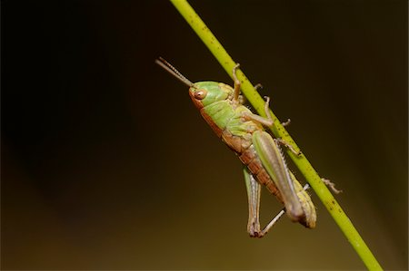 Close-up of Slant-faced Grasshopper (Gomphocerinae) on Blade of Grass, Bavarai Stock Photo - Rights-Managed, Code: 700-07067517