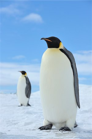 Emperor Penguins (Aptenodytes forsteri) in Ice Landscape, Snow Hill Island, Antarctic Peninsula, Antarctica Stock Photo - Rights-Managed, Code: 700-07110764