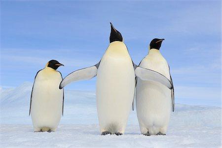 Three Adult Emperor Penguins (Aptenodytes forsteri), Snow Hill Island, Antarctic Peninsula, Antarctica Stock Photo - Rights-Managed, Code: 700-07110800