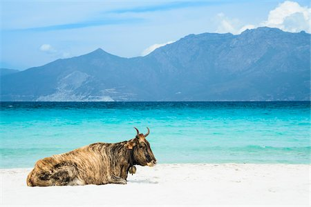 Wild cow lying on the beach, Loto Beach, Agriates Desert, Corsica, France Stock Photo - Rights-Managed, Code: 700-07148303