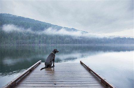 Black Labrador Retriever mixed breed dog sitting on dock at lake, Hayward Lake, BC. Stock Photo - Rights-Managed, Code: 700-07199485