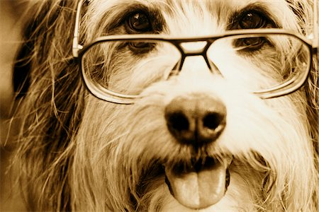 Portrait of Dog Wearing Eyeglasses Stock Photo - Rights-Managed, Code: 700-07199547