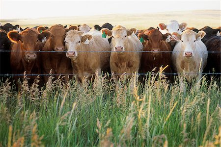 Group of Cows Stock Photo - Rights-Managed, Code: 700-07199596