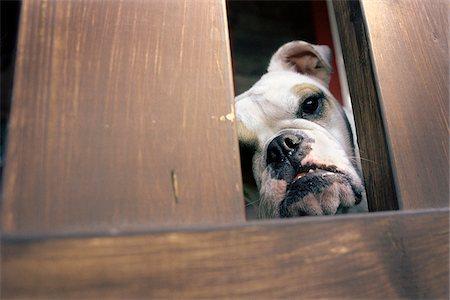 Bulldog Stock Photo - Rights-Managed, Code: 700-07199601