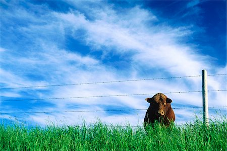 sky - Bull in Field, Saskatchewan, Canada Stock Photo - Rights-Managed, Code: 700-07199621