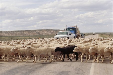 domestic sheep - Sheep Crossing Road, Wyoming, USA Stock Photo - Rights-Managed, Code: 700-07199634