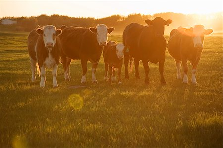 Cows in Field at Sunset Stock Photo - Rights-Managed, Code: 700-07199665