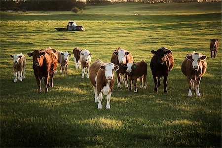 Cattle in Field at Sunset, Alberta, Canada Stock Photo - Rights-Managed, Code: 700-07199666