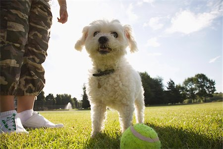 Dog in Park with Tennis Ball Stock Photo - Rights-Managed, Code: 700-07199676