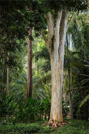 Trees in Botanical Garden (Jardim Botanico), Rio de Janeiro, Brazil Stock Photo - Rights-Managed, Code: 700-07204131