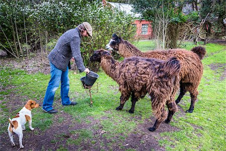 people in argentina - Man Feeding Llamas at Candelaria del Monte, San Miguel de Monte, Argentina Stock Photo - Rights-Managed, Code: 700-07237779