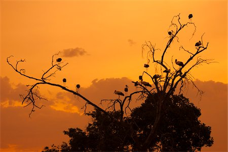 White Storks in Tree at Sunset, Masai Mara National Reserve, Kenya Stock Photo - Rights-Managed, Code: 700-07278788