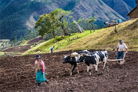plow - Farmers Plowing Field with Cows, Zuleta, Imbabura Province, Ecuador Stock Photo - Rights-Managed, Code: 700-07279316