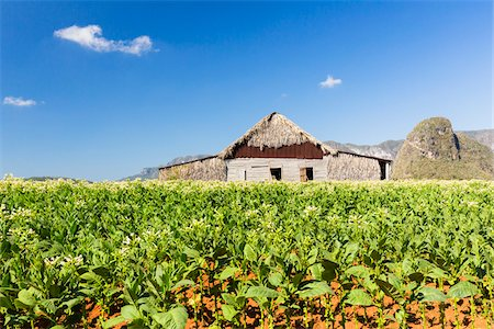 Tobacco Field and Tobacco Barn, Vinales National Park, Pinar del Rio Province, Cuba Stock Photo - Rights-Managed, Code: 700-07311233