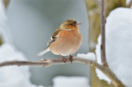 Male Chaffinch (Fringilla coelebs) in Winter, Neuschonau, Bavarian Forest National Park, Bavaria, Germany Stock Photo - Rights-Managed, Code: 700-07368527