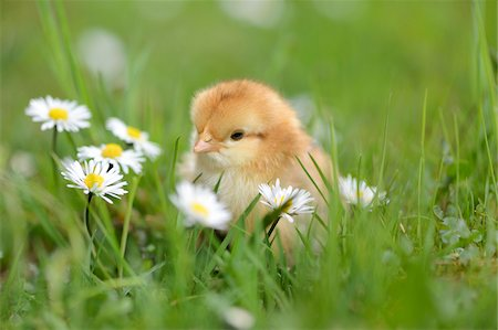 Close-up of Chick (Gallus gallus domesticus) in Meadow in Spring, Upper Palatinate, Bavaria, Germany Stock Photo - Rights-Managed, Code: 700-07435045