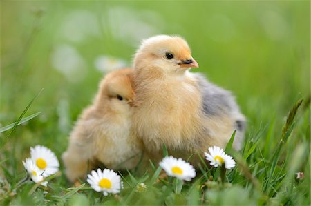 Close-up of Chicks (Gallus gallus domesticus) in Meadow in Spring, Upper Palatinate, Bavaria, Germany Stock Photo - Rights-Managed, Code: 700-07435047