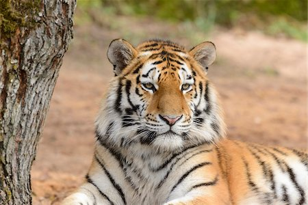 exotic outdoors - Portrait of Siberian Tiger (Panthera tigris altaica), Bavaria, Germany Stock Photo - Rights-Managed, Code: 700-07431168