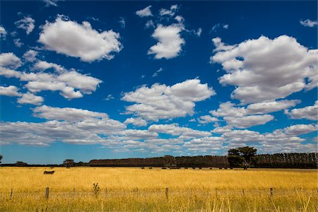 Cow in Field, Colac, Victoria, Australia Stock Photo - Rights-Managed, Code: 700-07453651