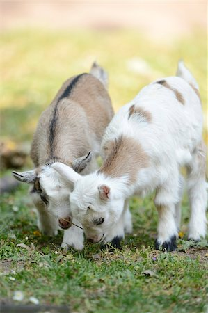 sweet - Close-up of two domestic goats (Capra aegagrus hircus) kids, grazing in meadow in spring, Bavaria, Germany Stock Photo - Rights-Managed, Code: 700-07584678