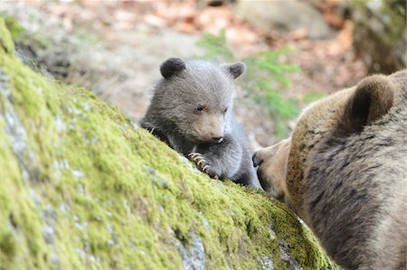 Close-up of a Eurasian brown bear (Ursus arctos arctos) cub with her mother in a forest in spring, Bavarian Forest National Park, Bavaria, Germany Stock Photo - Rights-Managed, Code: 700-07600001