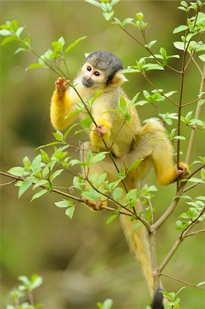 Close-up of a common squirrel monkey (Saimiri sciureus) on a tree in spring, Bavaria, Germany Stock Photo - Rights-Managed, Code: 700-07612805