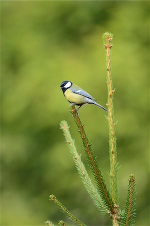 Portrait of Great Tit (Parus major) in Forest in Spring, Upper Palatinate, Bavaria, Germany Stock Photo - Rights-Managed, Code: 700-07636969