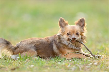 stick - Close-up of Chihuahua lying in Garden with Stick in Spring Stock Photo - Rights-Managed, Code: 700-07670701
