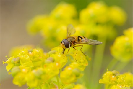 Close-up of a marmalade hoverfly (Episyrphus balteatus) on a cypress spurge (Euphorbia cyparissias) blossom in a meadow in spring, Styria, Austria Stock Photo - Rights-Managed, Code: 700-07672025