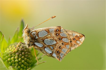 Close-up of Lesser Marbled Fritillary (Brenthis ino) on Blossom in Meadow in Spring, Styria, Austria Stock Photo - Rights-Managed, Code: 700-07672152