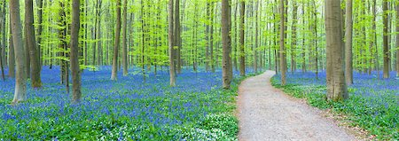 Path winding through a European beech forest (Fagus sylvatica) and bluebells (Hyacinthoides non-scripta) in the spring, Hallerbos, Belgium Stock Photo - Rights-Managed, Code: 700-07672268