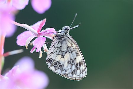 Close-up of Marbled White Butterfly (Melanargia galathea) on Fireweed  (Chamerion angustifolium) Blossom in Meadow in Early Summer, Bavaria, Germany Stock Photo - Rights-Managed, Code: 700-07707670