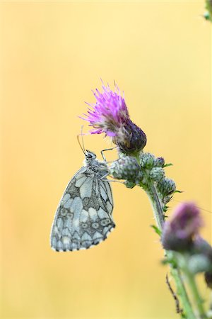 Close-up of Marbled White Butterfly (Melanargia galathea) on Creeping Thistle (Cirsium arvense) Blossom in Meadow in Early Summer, Bavaria, Germany Stock Photo - Rights-Managed, Code: 700-07707672