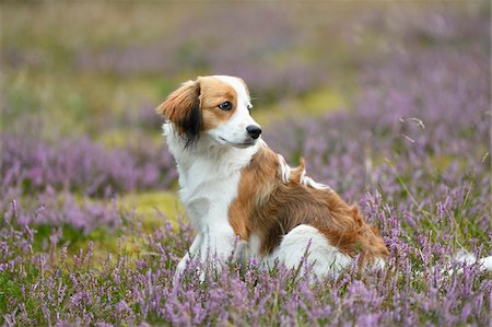 perception - Close-up portrait of a Kooikerhondje puppy sitting in an erica meadow in summer, Upper Palatinate, Bavaria, Germany Stock Photo - Rights-Managed, Code: 700-07734394