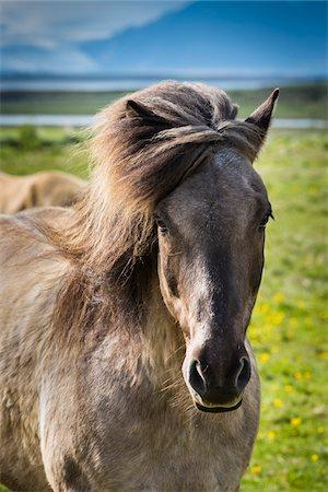 farming (raising livestock) - Close-up portrait of Icelandic horse at Hofn, Iceland Stock Photo - Rights-Managed, Code: 700-07760044