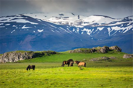 farming (raising livestock) - Icelandic horses in pasture with mountains in the background, at Hofn, Iceland Stock Photo - Rights-Managed, Code: 700-07760042